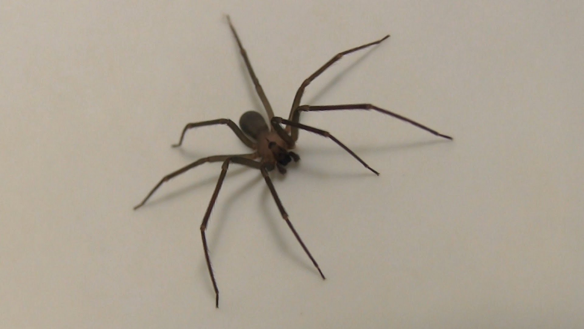 Symptoms of brown recluse spider bite