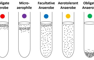 Facultative Anaerobes
