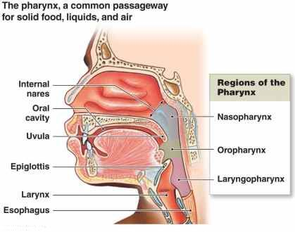 throat anatomy, anatomy of the throat and mouth, anatomy of the throat and neck, throat anatomy swallowing, throat anatomy front view, throat anatomy pictures, throat anatomy tonsils, parts of the throat and neck, throat larynx
