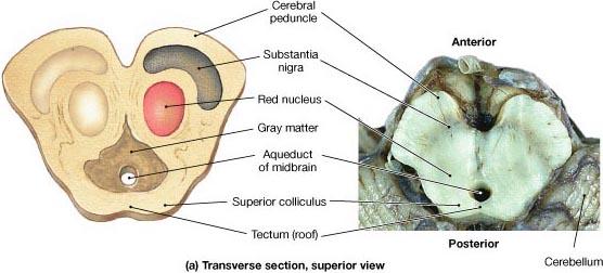 cerebral peduncle. Structure of the cerebral peduncle? Functions of the cerebral pedunclecerebral peduncle. Structure of the cerebral peduncle? Functions of the cerebral peduncle